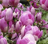 Close up - Japanese Magnolia