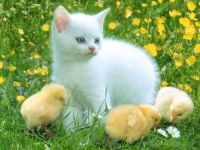 Kitten & Chicks