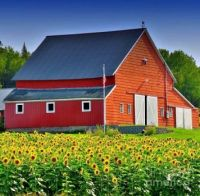 Old Red Barn and Sunflower Fields...