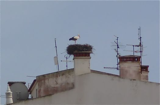 A happy nesting black stork in the middle of town.