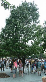 Lone surviving tree of 9/11