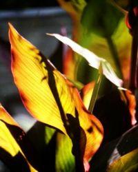 canna leaf2