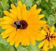 Pot marigold with bumblebee