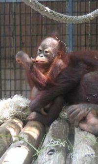 baby oerang utang, Barcelona Zoo