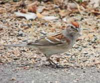 The Tree Sparrows are still here...