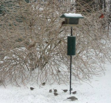 ice storm, 2/21/11 and many at the feeder