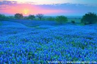 Nobody does Bluebells like Texas...