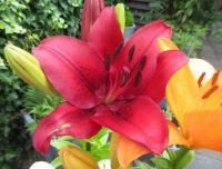 Red Lily  close up