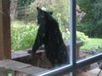 Bear in my Yard 3