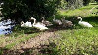 Famile de cygnes