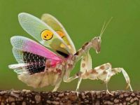Say hello to the Spiny Flower Mantis.  Kinda cute, huh?