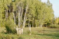 Lovely Birch trees dotted the landscape !