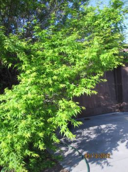 My Japanese maple looks good in the springtime!