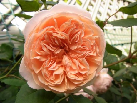 Rose 'Crown Princess Marguerita'