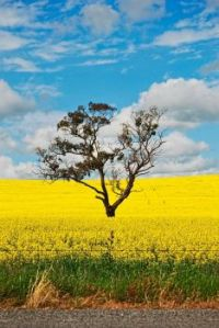 A Tree Grows In South Australia