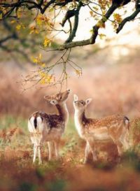 Two little deer.