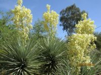Gorgeous Yucca in bloom