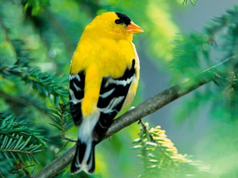 yellow finch (?)