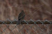 Bird Book:  Female Red-Winged Blackbird