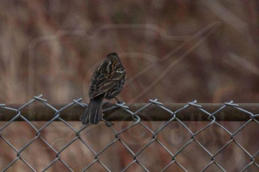 Bird Book:  Female Red-Winged Blackbird