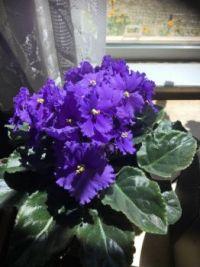 My sister's violet