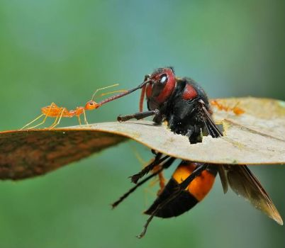 Ant & Wasp Tug-of War.