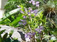 Dainty Purple Orchids - Maui, Hawaii
