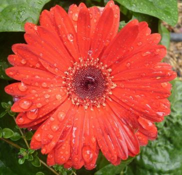 Rita's gerbera - after the rain