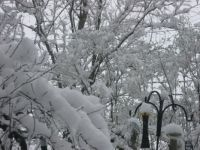 Snowy spring branches