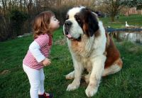 Little Girl kissing a large St Bernard