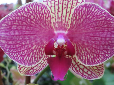 Red vien orchid