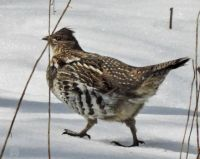More Birds: Ruffed Grouse