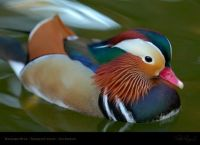 Exquisite picture of a Mandarin Duck!!