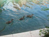 Ducks in Indiana