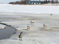 Canada geese (First to arrive this spring)