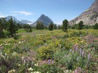 Breathtaking Wildflower Show in Glacier National Park