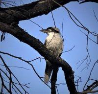 kookaburra in the wild at Cordolla