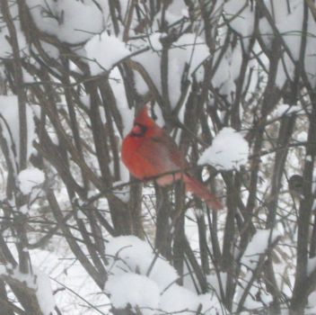 cardinal and a sparrow in the branches