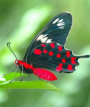 Crimson-Rose Butterfly - India.