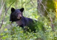 Bear by Scott Lehtola 2