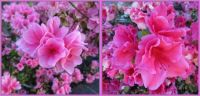 Azaleas are blooming!