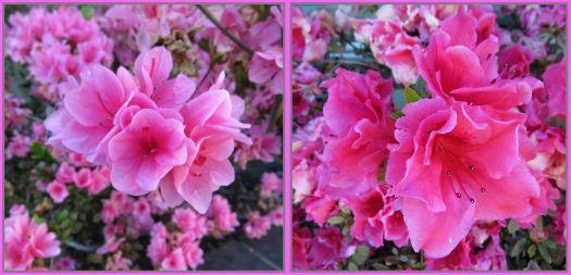 Azaleas are blooming!