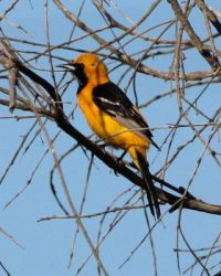 Hooded Oriole, Horse Park Trail, Del Mar, California