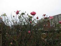 My Bonica Rose (30 January 2021)