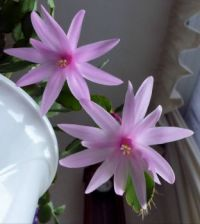 My Easter cactus....