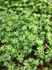 Sweet Woodruff (Gallium odoratum)