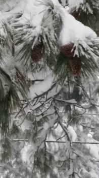 PINECONES IN WINTER