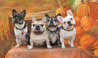 4 French Bulldogs