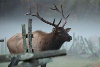 Elk near the Cherokee Oconaluftee Visitors Center 1