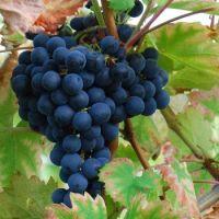 Black Magic grapes